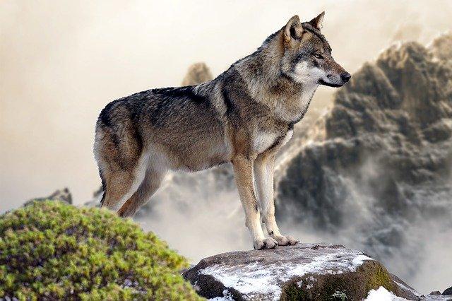 Wakacje w górach - spotkanie z wilkiem na szlaku